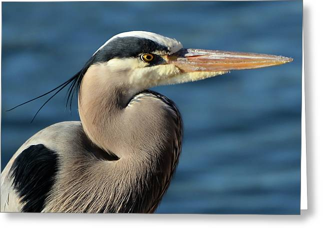 A Great Blue Heron Posing Greeting Card