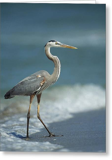 Ardea Greeting Cards - A Great Blue Heron Walks In The Sand Greeting Card by Klaus Nigge