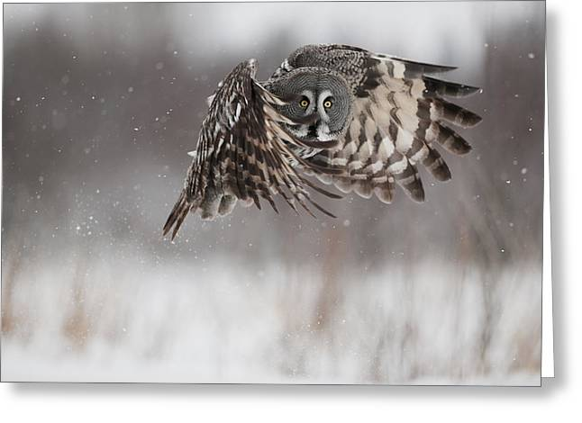 A Great Gray Owl In Flight Greeting Card by