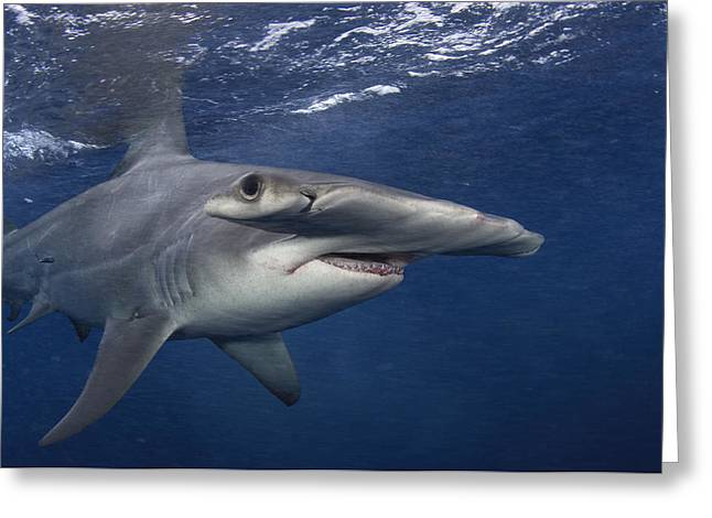 A Great Hammerhead Shark Swimming Greeting Card by Brian J. Skerry