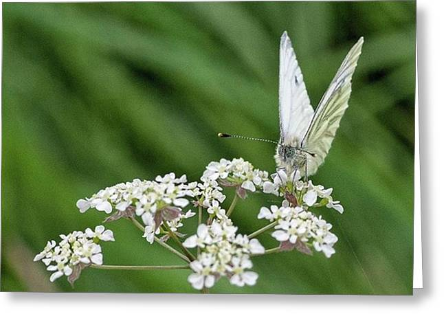A Green-veined White (pieris Napi) Greeting Card