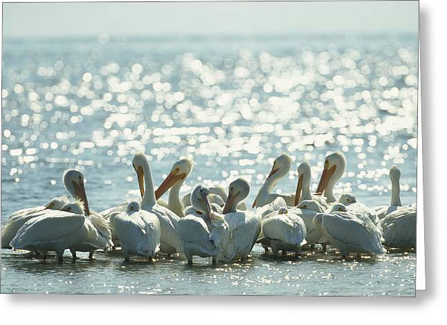 A Group Of American White Pelicans Greeting Card by Klaus Nigge