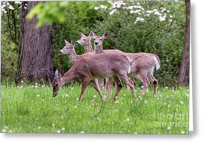 A Group Of White Tailed Deer Grazing Greeting Card