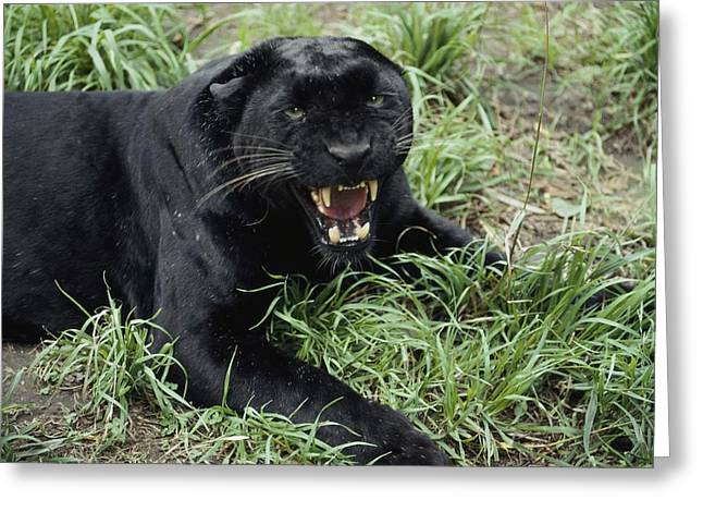 Hostility Greeting Cards - A Growling Captive Black Leopard Greeting Card by Jason Edwards