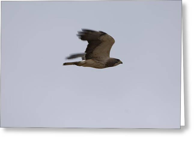 A Hawk Near The Charles M. Russell Greeting Card by Joel Sartore