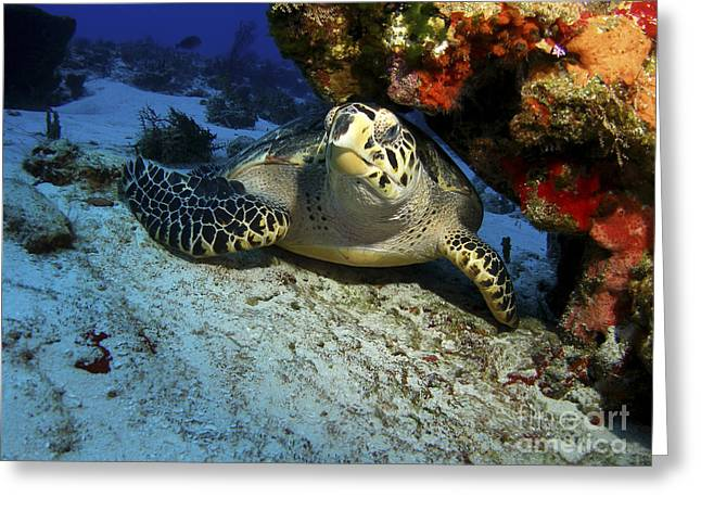 A Hawksbill Sea Turtle Resting Greeting Card by Brent Barnes