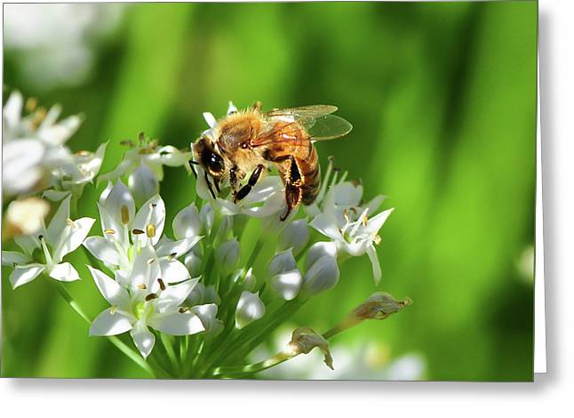 A Honey Bee At Work In An Herb Garden Greeting Card