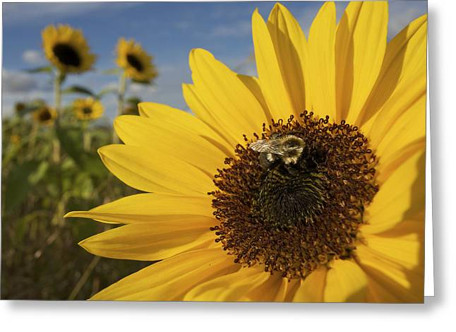 Concord Greeting Cards - A Honey Bee Visiting A Sunflower Greeting Card by Tim Laman