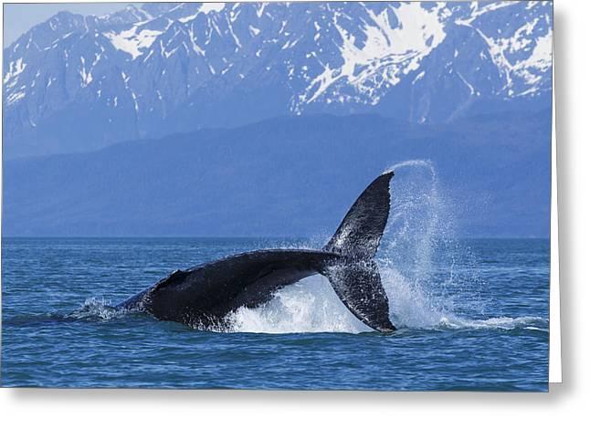 A Humpback Whale Calf Frolicks In Lynn Greeting Card by John Hyde