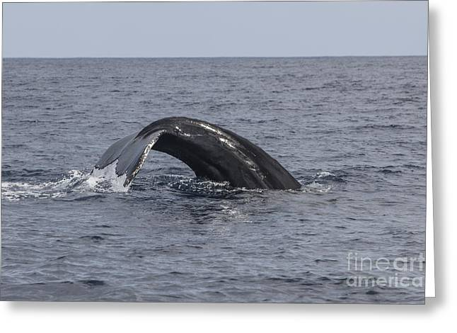 A Humpback Whale Dives In The Caribbean Greeting Card by Ethan Daniels