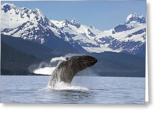 A Humpback Whale Leaps  Breaches Greeting Card