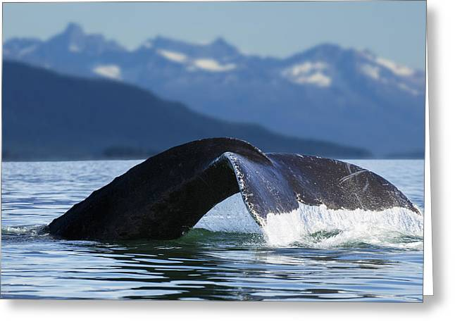 A Humpback Whale Lifts Its Flukes Greeting Card by John Hyde