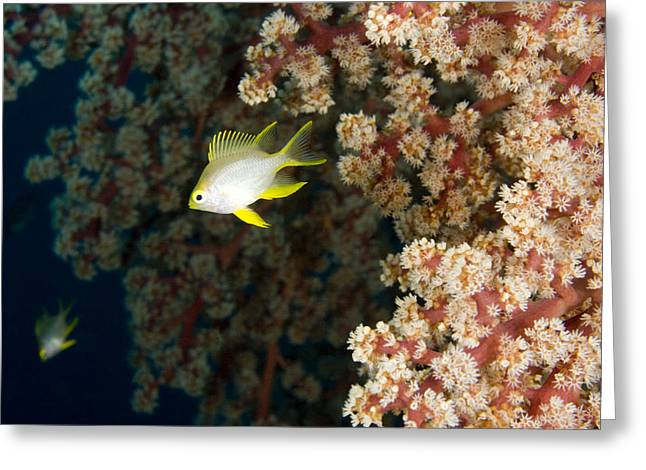 A Juvenile Golden Damsel Fish Shelters Greeting Card by Tim Laman