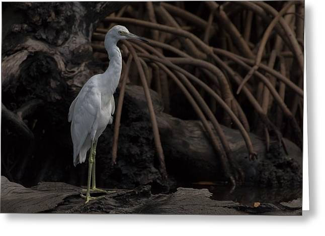 A Juvenile Heron In Perfect Pose Greeting Card by Debra Larabee