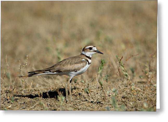A Killdeer In Eastern Montana Greeting Card