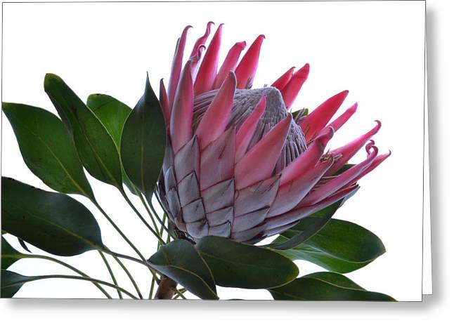 Proteas Greeting Cards - A King From Africa. Greeting Card by Terence Davis