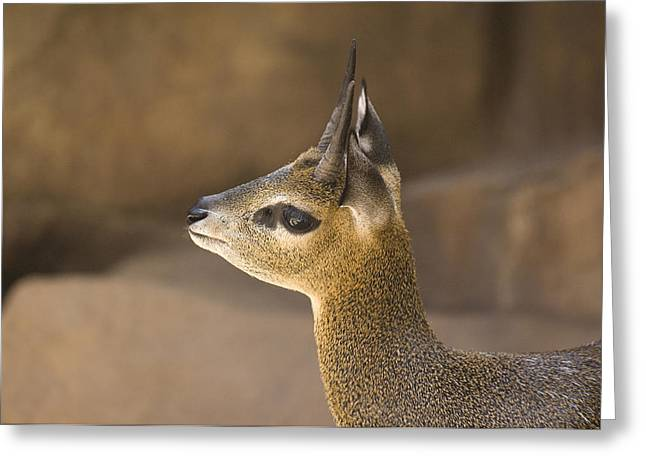 A Klipspringer At  The Henry Doorly Zoo Greeting Card by Joel Sartore