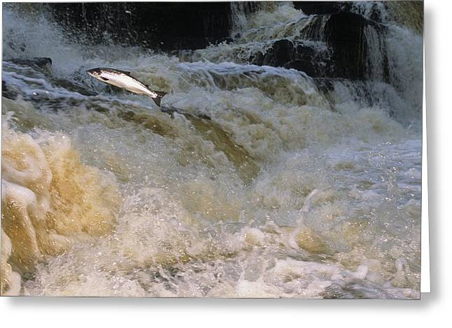 Animal Life Cycles Greeting Cards - A Leaping Salmon In The Ballysadare Greeting Card by Paul Nicklen