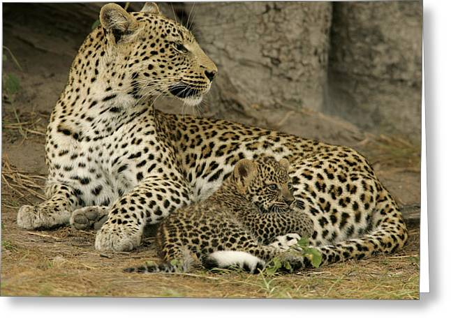 Wildcats Greeting Cards - A Leopard Cub With Her Mother Greeting Card by Beverly Joubert