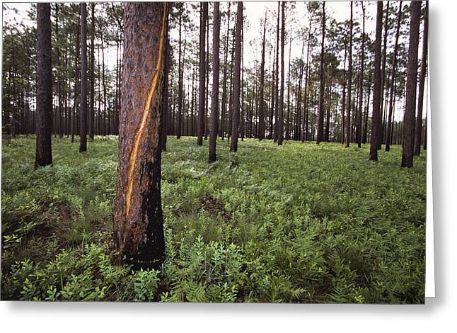 A Lightning Scarred Tree In A Forest Greeting Card