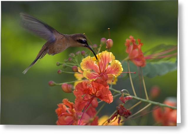 Hermit Greeting Cards - A Little Hermit Hummingbird Drinking Greeting Card by Roy Toft