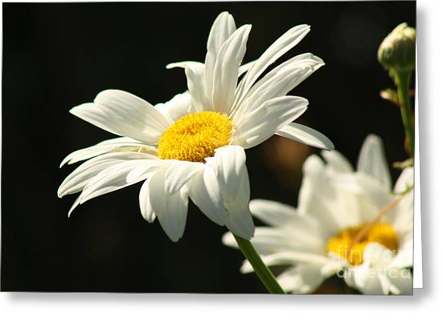 A Little Less Than Perfect Sunshine Daisy  Greeting Card by Cathy  Beharriell