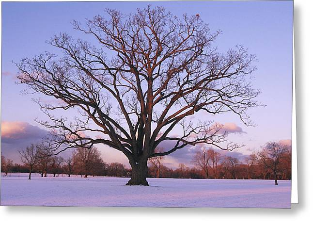 Snow Scene Landscape Greeting Cards - A Lone Oak Tree In Delaware Park Greeting Card by Melissa Farlow