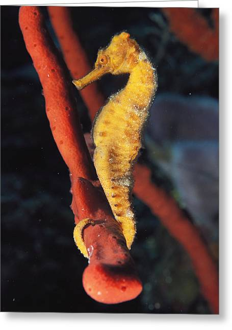 Hippocampus Greeting Cards - A Longsnout Seahorse, Hippocampus Greeting Card by Bill Curtsinger
