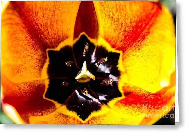 A Look Inside A Tulip  Greeting Card