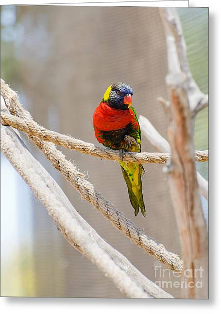 A Lorikeet From The Rainforest Greeting Card by MaryJane Armstrong