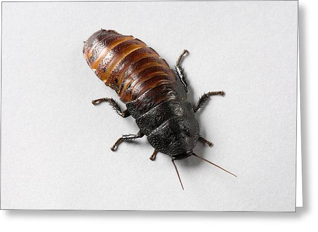 A Madagascar Hissing Cockroach Greeting Card by Joel Sartore