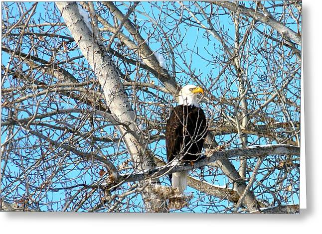 Greeting Card featuring the photograph A Majestic Bald Eagle by Will Borden