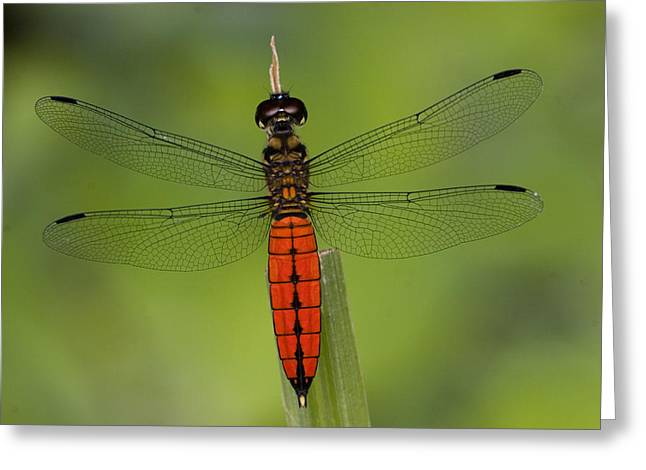 A Male Forest Chaser Dragonfly Rests Greeting Card by Joe Petersburger