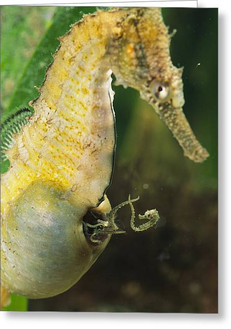 Reproductive Organs Greeting Cards - A Male Sea Horse With Young Emerging Greeting Card by George Grall