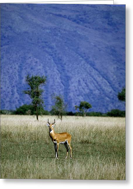 Uganda Greeting Cards - A Male Ugandan Kob Stands His Ground Greeting Card by David Pluth