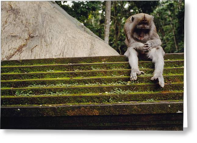 A Monkey Sits Contemplatively Greeting Card by Justin Guariglia