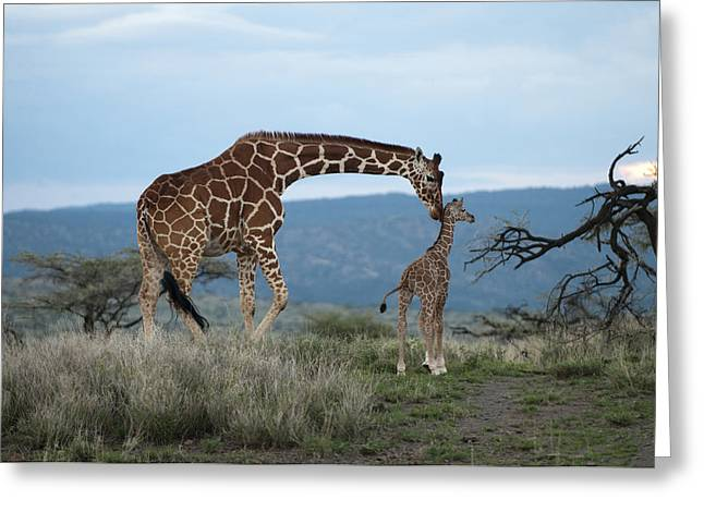A Mother Giraffe Nuzzles Her Baby Greeting Card by Pete Mcbride
