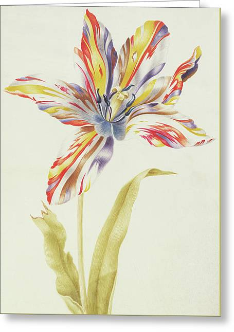A Multicolored Broken Tulip Greeting Card by Nicolas Robert