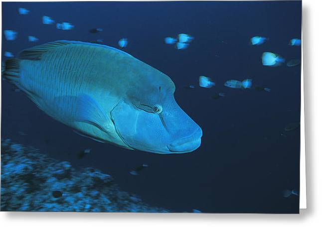 Micronesia Greeting Cards - A Napoleon Or Humphead Wrasse Swims Greeting Card by Tim Laman