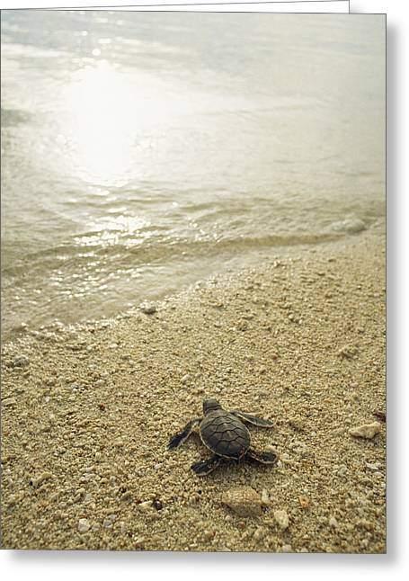 A Newly Hatched Green Sea Turtle Making Greeting Card