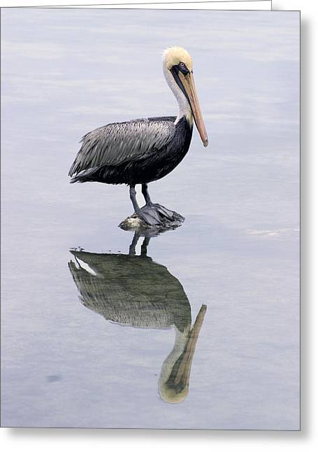 A Noble Bird Is The Pelican Greeting Card