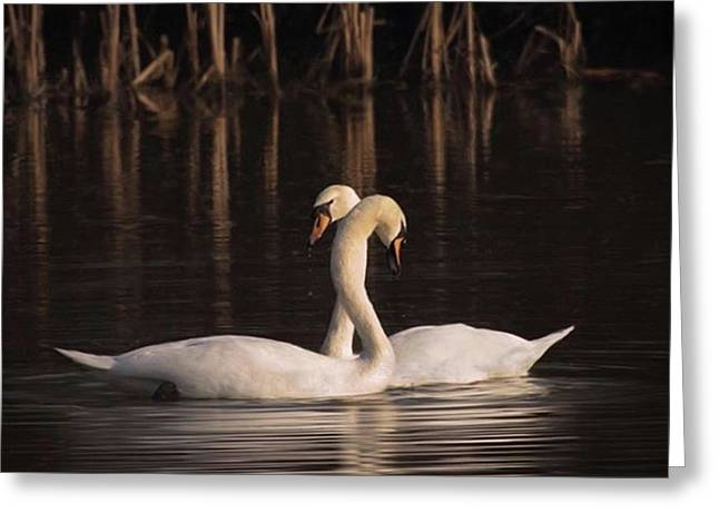 A Painting Of A Pair Of Mute Swans Greeting Card by John Edwards