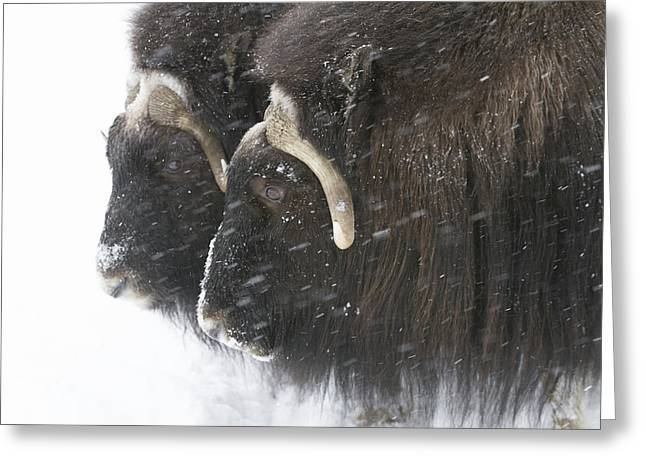A Pair Of Captive Muskox Cows Stand Greeting Card