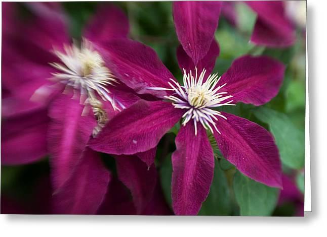 A Pair Of Clematis Flowers Greeting Card by Sandy Belk