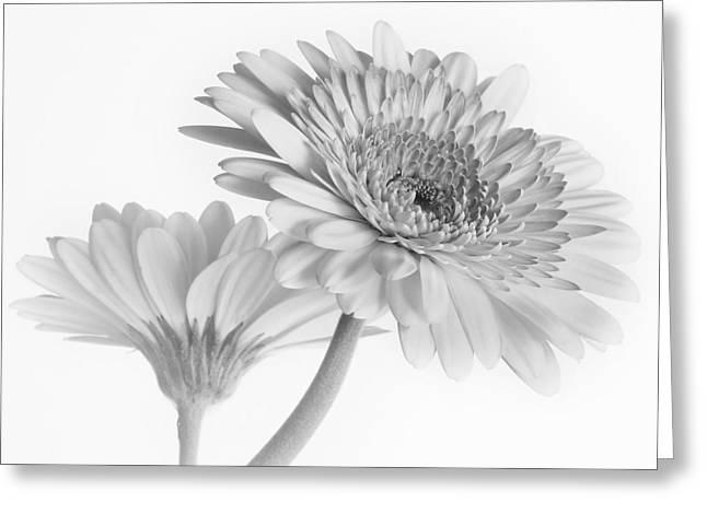 A Pair Of Daisies Greeting Card by David and Carol Kelly