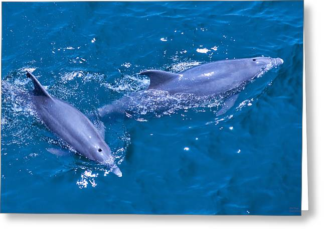 A Pair Of Dolphins Greeting Card by Bill Perry