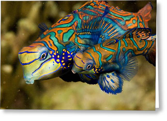A Pair Of Mandarinfish Swim Close Greeting Card
