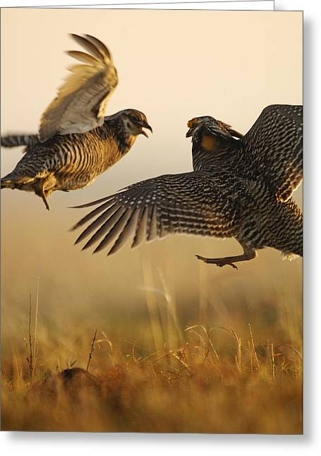 A Pair Of Prairie Chickens Face Greeting Card by Jim Richardson