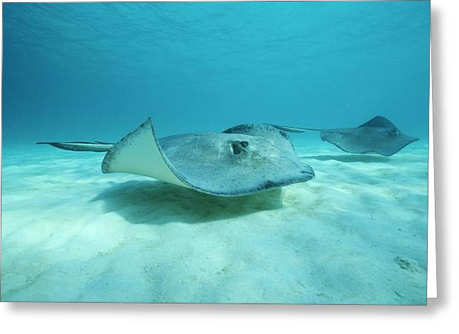 Ray Fish Greeting Cards - A Pair Of Southern Stingrays Swim Greeting Card by Raul Touzon