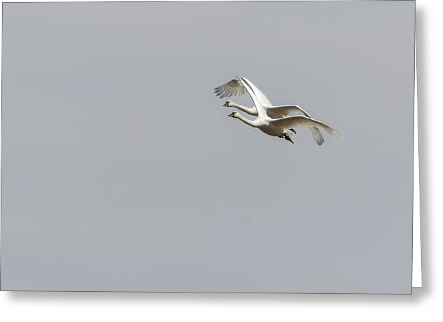 A Pair Of Swans 2017-1 Greeting Card by Thomas Young